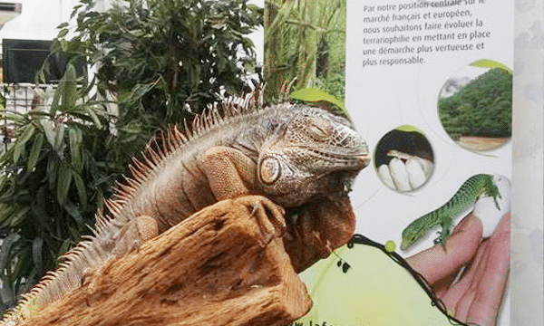 iguane-animal-expo