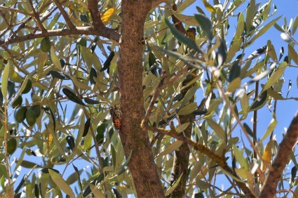 cigale olivier