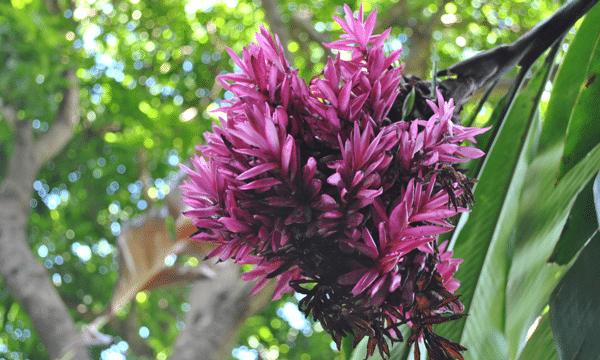 fleurs-guadeloupe