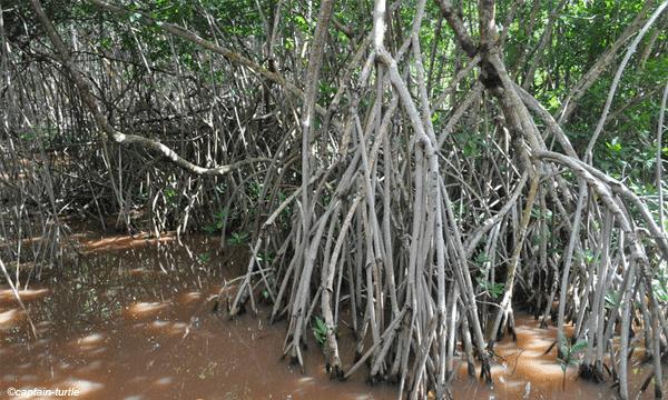 mangrove-guadeloupe